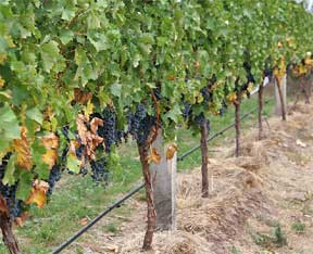 grape-vines-prune